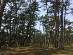 西浜キャンプ場松林
