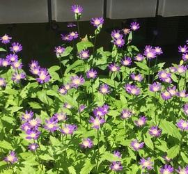 道端の紫色の花