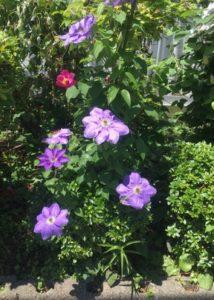 椿と紫色の花
